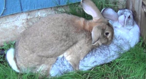 Разведение кроликов для получения прибыли