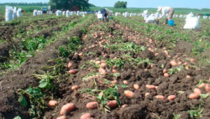 Как начать свой бизнес на выращивании картофеля