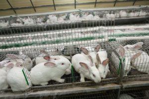 Разведение кроликов как бизнес: планируем, начинаем и получаем прибыль