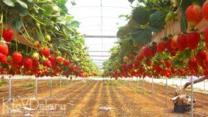 Выращивание клубники как бизнес: рентабельность, самоокупаемость