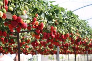 Бизнес на выращивании клубники в домашних условиях: как заработать на ягодах с минимальными затратами